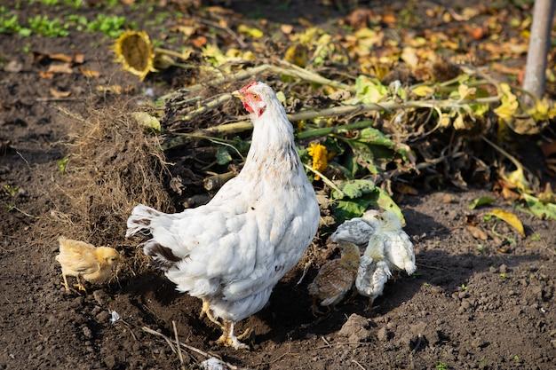 Курица с цыплятами сидит на земле в саду в деревне. крупный план. Premium Фотографии
