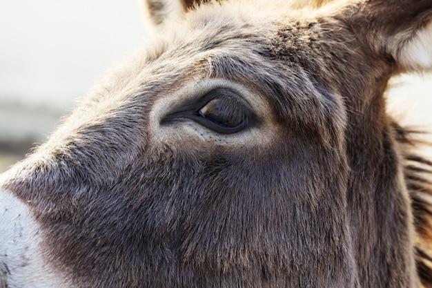 牧草地でロバの目のクローズアップ Premium写真