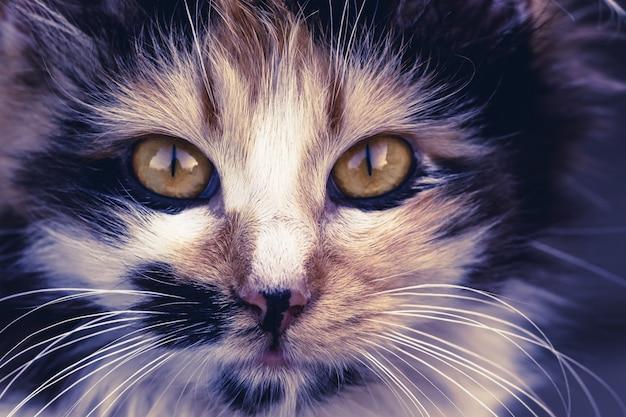 猫の顔のクローズアップ。動物相。ペットとライフスタイルのコンセプト Premium写真