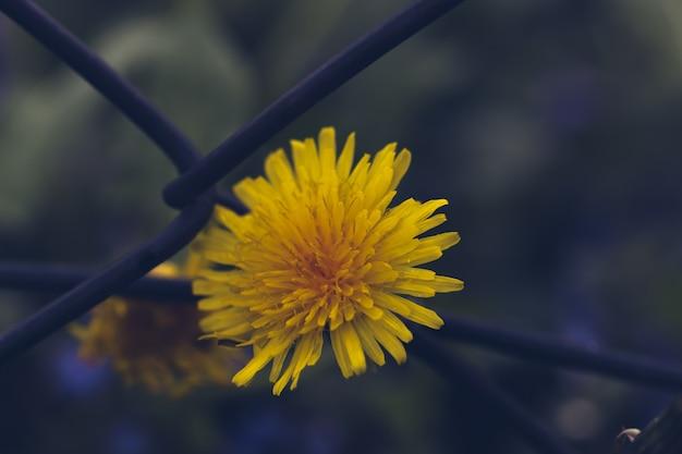 鉄のネット上のぼやけたタンポポの花 Premium写真