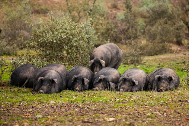 牧草地コードバンのフィールドの草に横たわっているイベリア豚の群れ Premium写真
