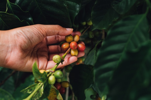 農学者の手でコーヒーツリーアラビカコーヒー果実 Premium写真