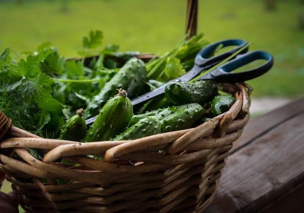 Урожай огурцов в корзине на деревянном фоне на открытом воздухе Premium Фотографии