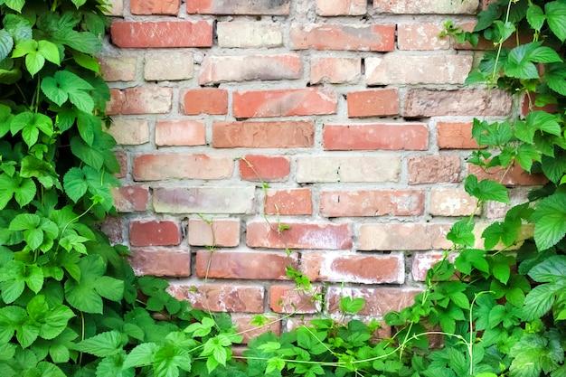 古いれんが造りの壁に登る緑ホップ植物。コピースペース Premium写真