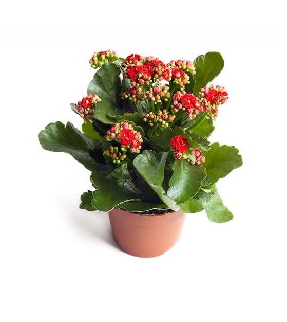 Каланхоэ цветок в горшке, изолированные Premium Фотографии