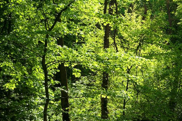 春のカエデとシデの森 Premium写真