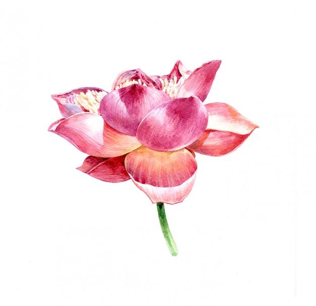 白い背景の上の蓮の水彩イラスト絵画 Premium写真