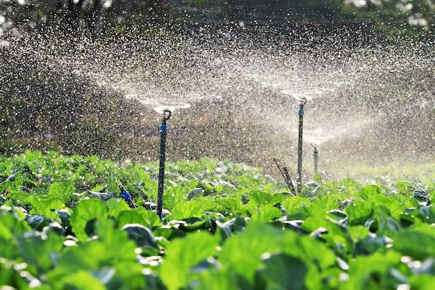 日没への野菜の灌漑 Premium写真