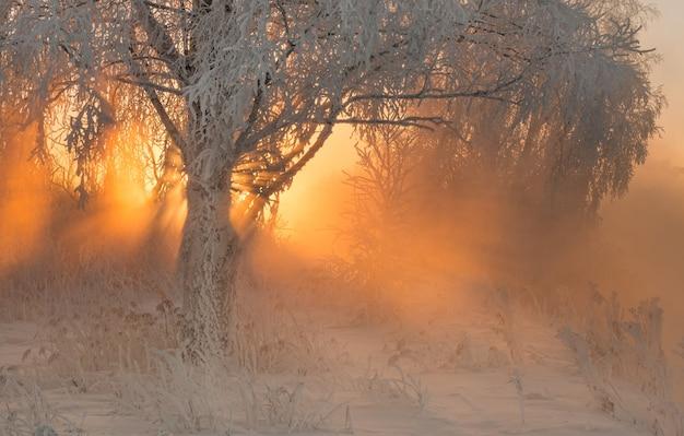Зимний лес с удивительными лучами солнца в тумане Premium Фотографии