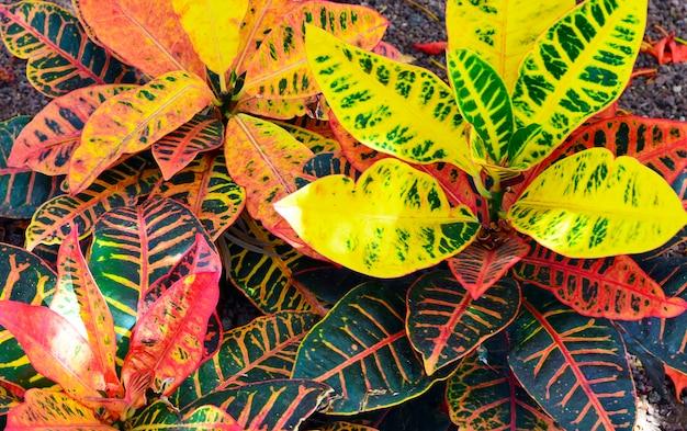 Кротоновая текстура растений Premium Фотографии