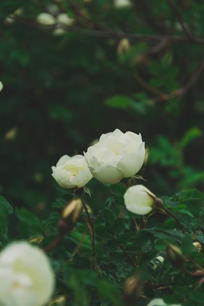 茂みの緑の葉に咲く野生の白いバラ Premium写真