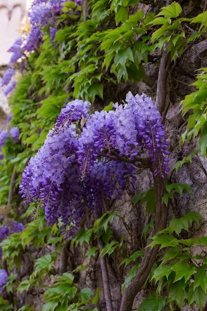 Красивая глициния в цвету Premium Фотографии