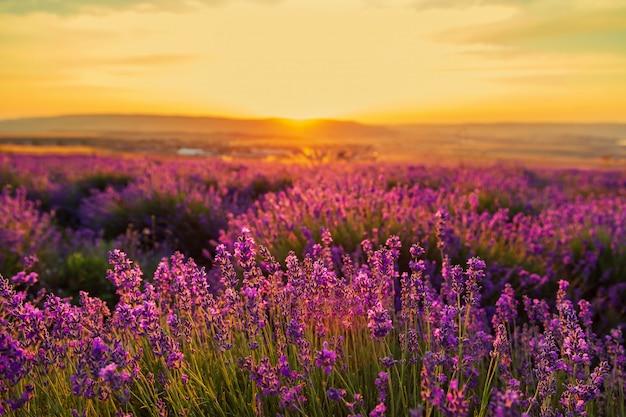日没時のラベンダー畑。素晴らしい夏の風景。 Premium写真