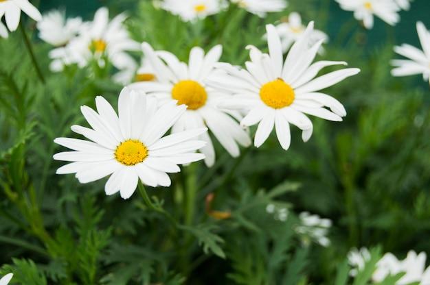 Цветы красивые ромашки. Premium Фотографии