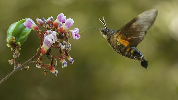 Макрофотография моль летающих колибри Premium Фотографии