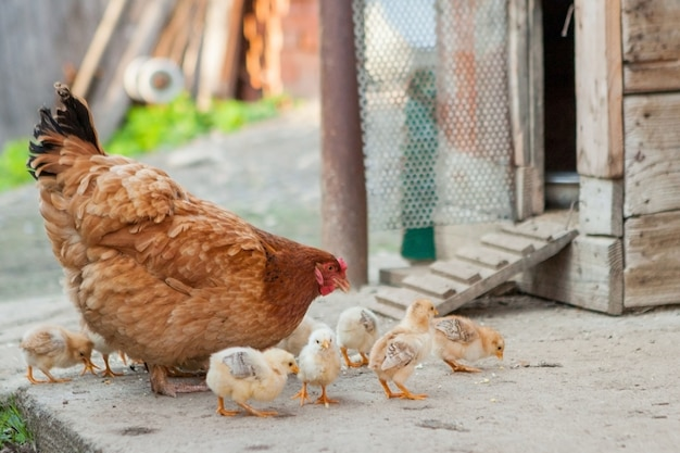Крупным планом желтых цыплят на полу, красивые желтые маленькие цыплята, группа желтых цыплят Premium Фотографии