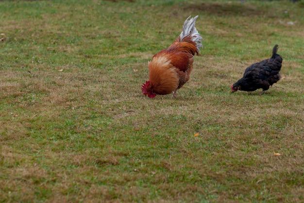 オンドリおよび鶏の草を食べて Premium写真