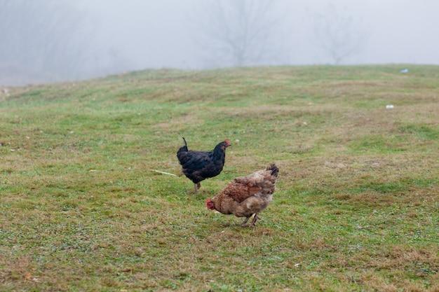 Петух и куры пасутся на траве Premium Фотографии