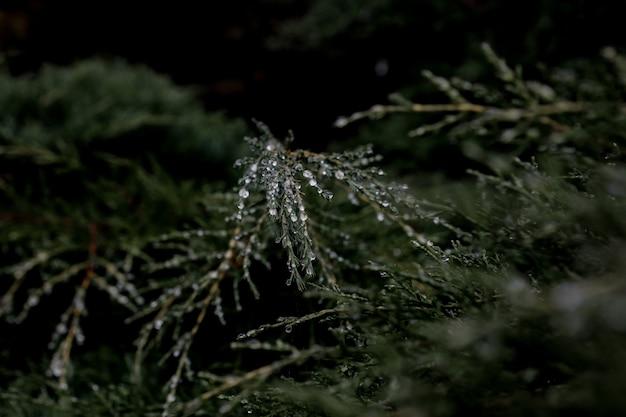 松の木の松の葉の曇り空の午後に露の滴 Premium写真