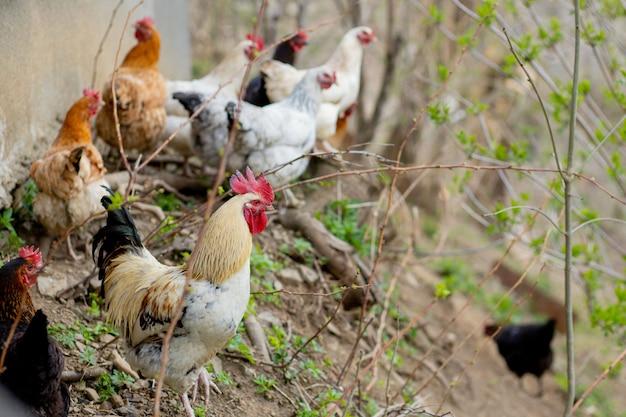 Стая цыплят свободно бродит в пышном зеленом загоне Premium Фотографии