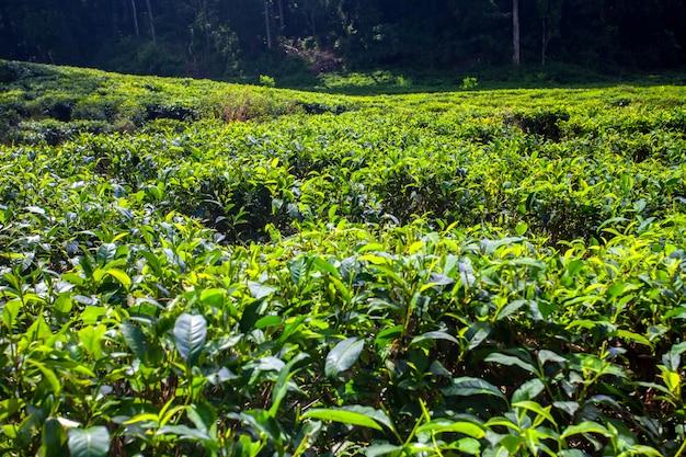 Чайная плантация Premium Фотографии