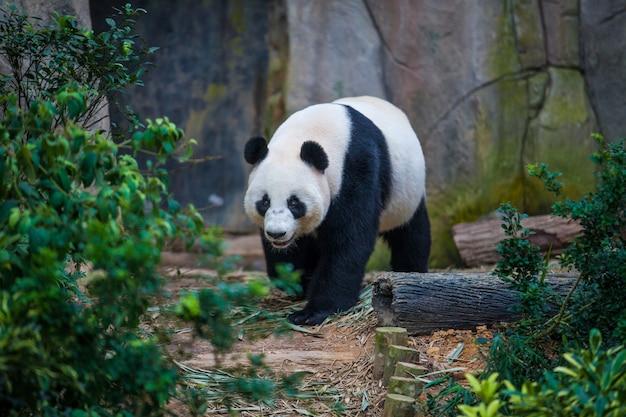 緑の植物の間を歩くジャイアントパンダ Premium写真