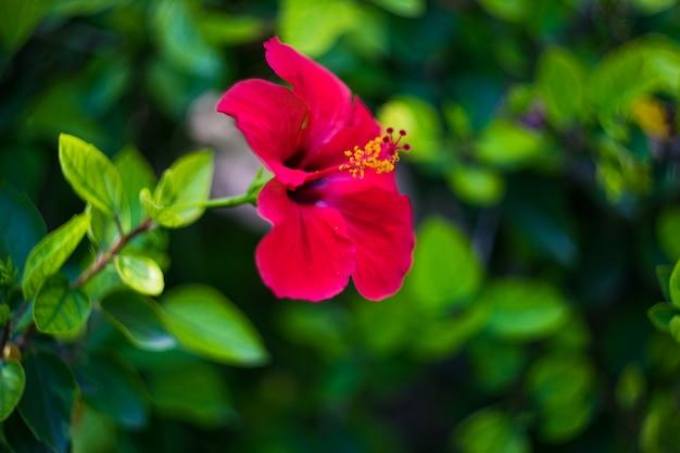 トロピカルガーデンのハイビスカスの花 Premium写真