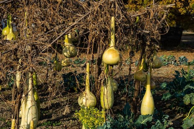 ひょうたんの収穫 Premium写真