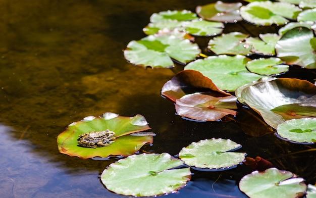 池の緑のカエル Premium写真