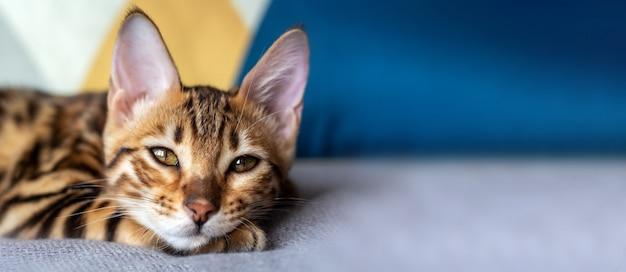 Баннер с бенгальская кошка спит на кровати. Premium Фотографии