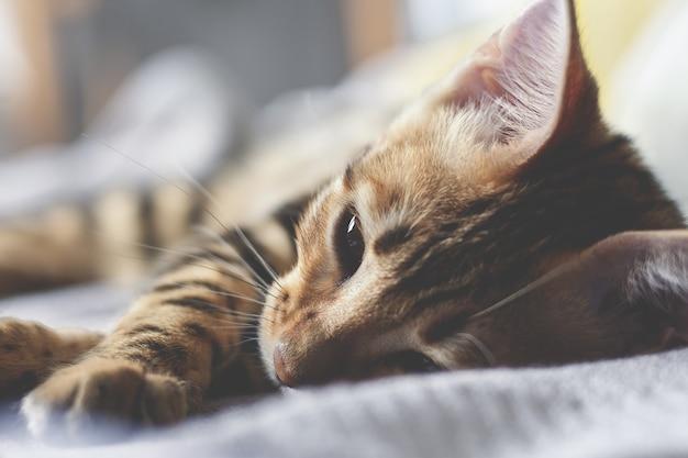 Бенгальский котенок спит на кровати. закройте Premium Фотографии