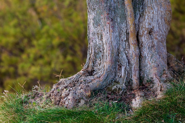 オリーブの木の幹と根。緑の色調(オリーブ、明るい部分と暗い部分、黄土色)のボケ味を持つ多重テクスチャ Premium写真
