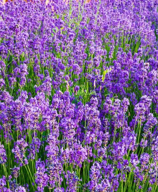 Лаванда, драгоценные декоративные растения, дикие с сиреневыми цветами, голубоватые, голубые. аромат и вкусные духи. Premium Фотографии