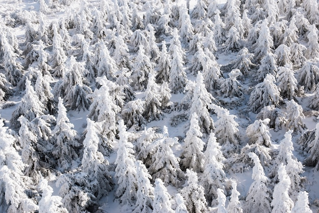 新鮮な雪で覆われた山の冬の木 Premium写真