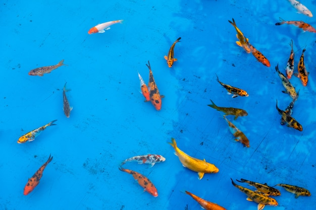 青いプールの金魚 Premium写真
