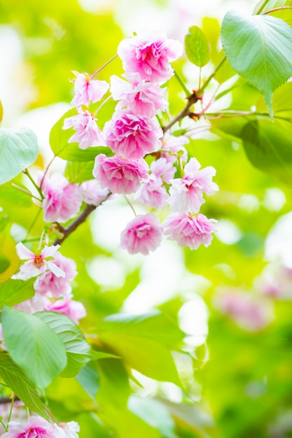 ピンクの桜(さくら)の花。ぼやけて背景にソフトフォーカスの桜や桜の花 Premium写真