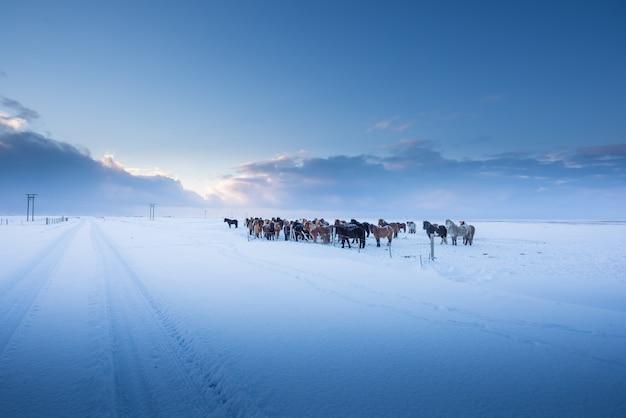 アイスランドの馬と冬の美しい風景 Premium写真