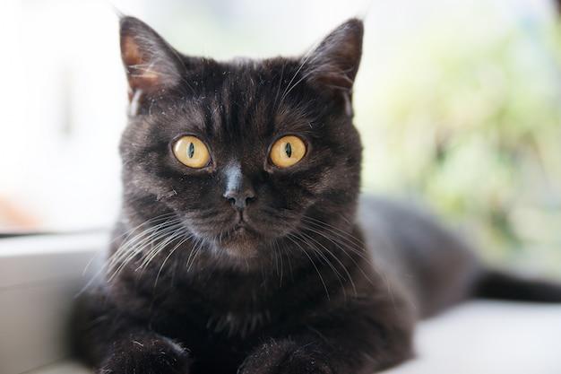 猫の肖像画。スコットランドのショートヘア。 Premium写真