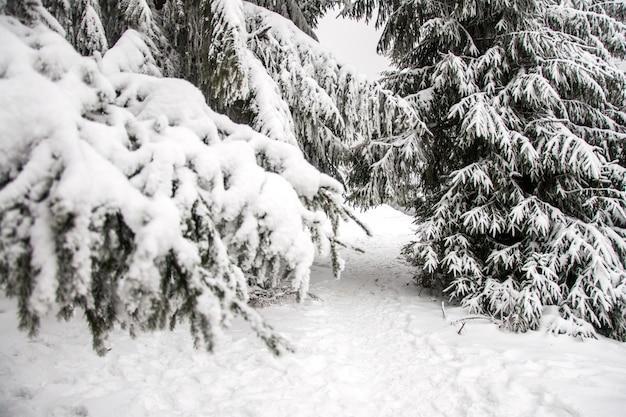 冬の山の風景。雪の山。山の最初の雪。カルパティア山脈の最初の霜。大雪の下で背の高いクリスマスツリー Premium写真
