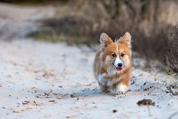 Вельш-корги пушистый бегает по пляжу и играет в песке Premium Фотографии
