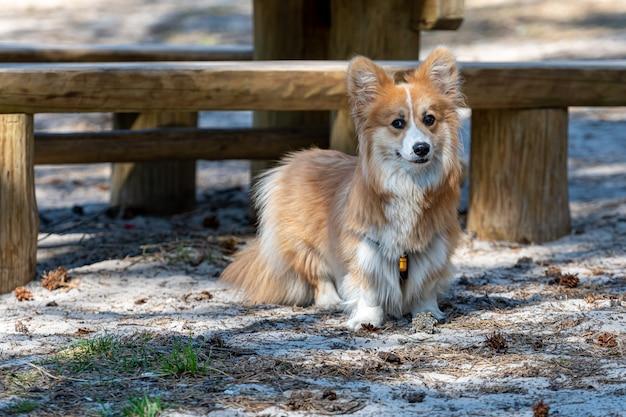 Красивый портрет красной собаки вельш корги пемброк в переднем плане Premium Фотографии