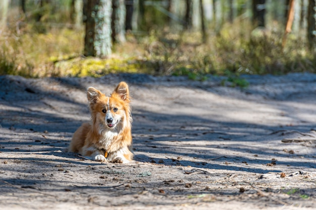 Красивый портрет красной собаки валлийский корги пемброк, лежа в лесу Premium Фотографии
