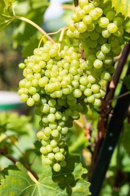 つるの緑のブドウの房。ブドウの収穫。 Premium写真