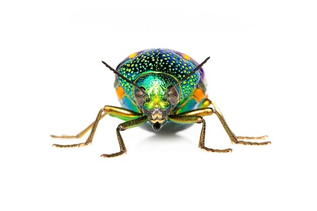 緑色の足の金属のカブトムシまたは宝石のカブトムシまたは白のメタリックな木ボーリングのカブトムシのイメージ Premium写真
