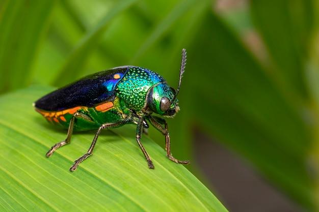 Изображение зеленого жука металлического жука или жука драгоценного камня или металлического древесного жука на зеленых листьях Premium Фотографии