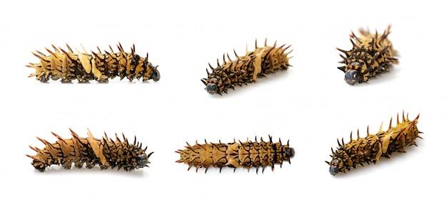 分離された黄金のトリバネアゲハ幼虫のグループ。ワーム。昆虫。動物。 Premium写真