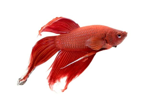 Изображение боевой рыбы. (бетта спленденс) Premium Фотографии