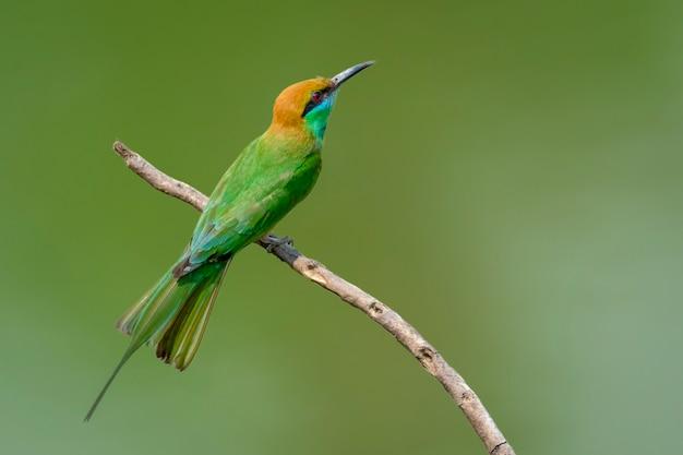 Зеленая птица щурка на ветке дерева Premium Фотографии