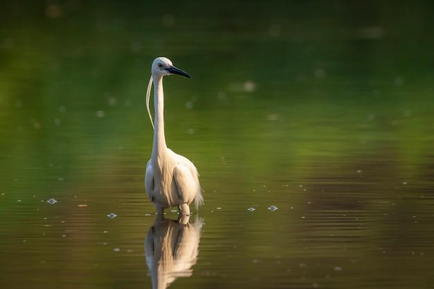 Маленькая цапля в поисках еды в болоте Premium Фотографии