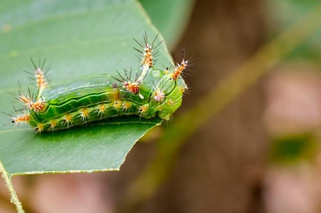 Крапива гусеницы гусеницы крапивы на зеленом листе Premium Фотографии
